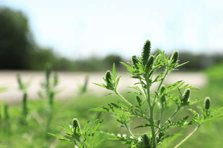 Blooming ragweed plant (Ambrosia genus) outdoors, space for text. Seasonal allergy Stock Photo