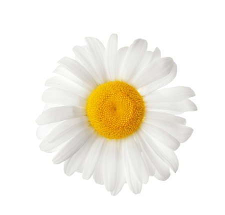 Beautiful blooming chamomile flower isolated on white Imagens