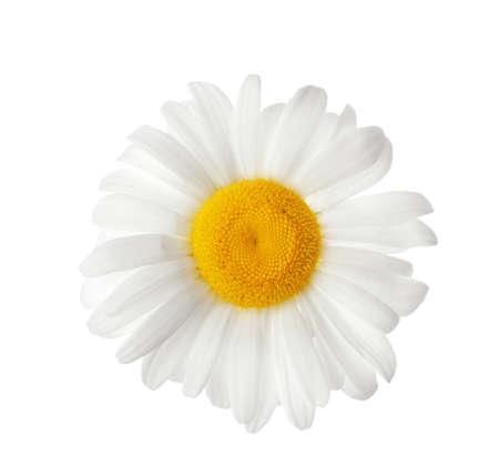 Bellissimo fiore di camomilla in fiore isolato su bianco Archivio Fotografico