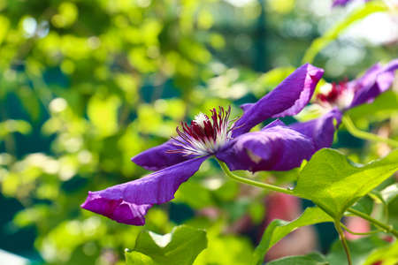 Beautiful blooming clematis in garden on sunny day, closeup