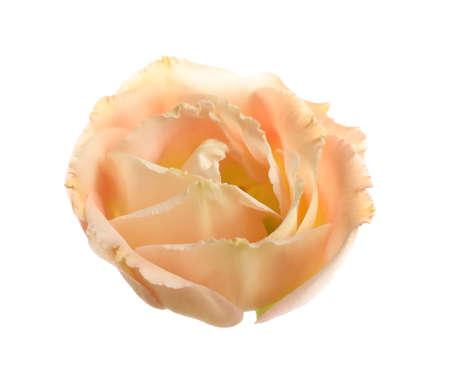 Beautiful fresh Eustoma flower on white background Stock Photo