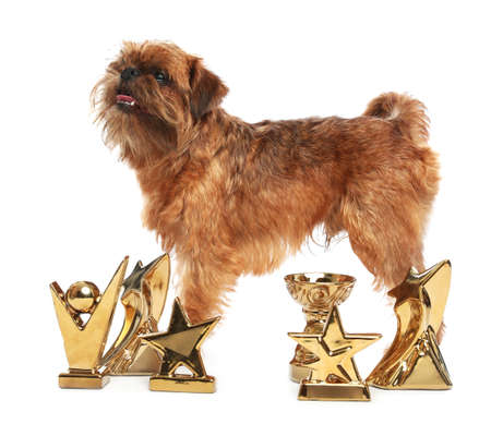 Cute Brussels Griffon dog with champion trophies on white background Stock Photo