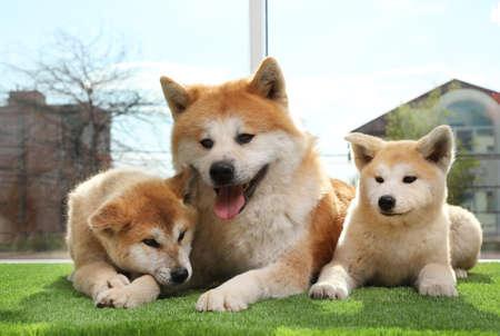 Adorable Akita Inu dog and puppies on artificial grass near window Banco de Imagens