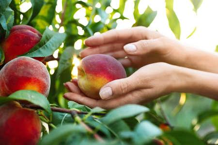 Woman holding fresh ripe peach in garden, closeup view Reklamní fotografie