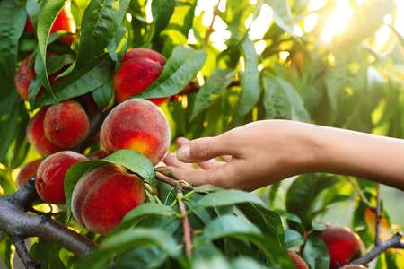 Woman with fresh ripe peaches in garden, closeup view