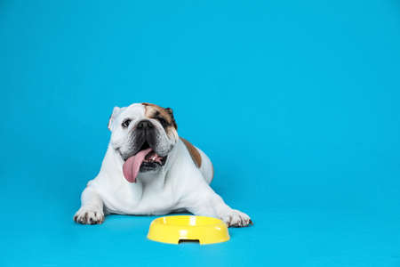 Adorable funny English bulldog with feeding bowl on light blue background, space for text 版權商用圖片 - 129404550