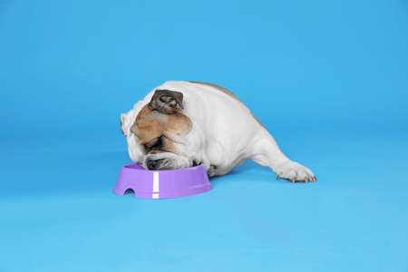 Adorable funny English bulldog with feeding bowl on light blue background