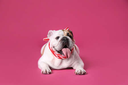 Adorable funny English bulldog with ribbon on pink background Stock fotó