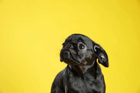 Schattige zwarte Petit Brabancon-hond op gele achtergrond, ruimte voor tekst Stockfoto
