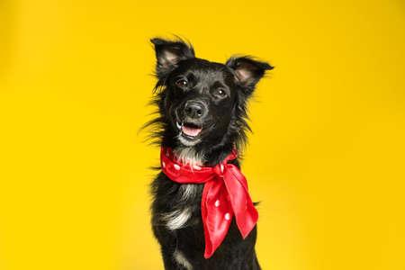 Chien noir mignon avec foulard sur fond jaune Banque d'images