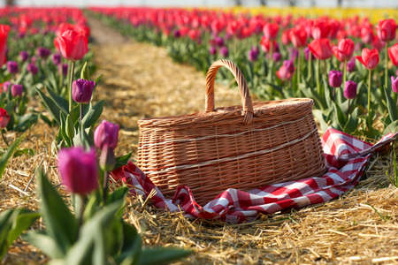 Wicker basket and checkered picnic tablecloth in tulip field