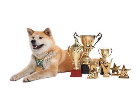 Adorable perro Akita Inu con trofeos y medallas de campeón sobre fondo blanco. Foto de archivo