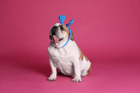 Adorable funny English bulldog with bow on pink background