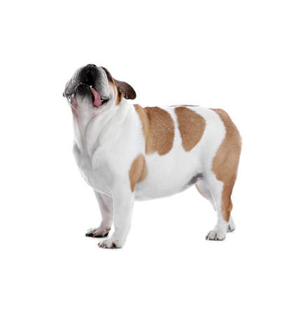 Adorable bulldog inglés divertido sobre fondo blanco. Foto de archivo