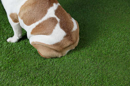 Adorable funny English bulldog on grass, closeup view. Space for text Reklamní fotografie
