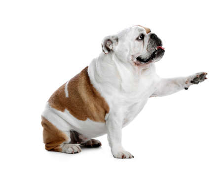 Adorable English bulldog giving paw on white background