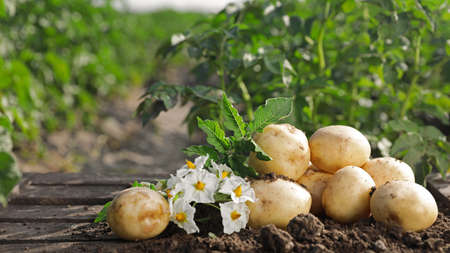 Pile of ripe potatoes on ground in field 스톡 콘텐츠