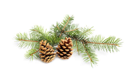 Christmas tree branches with pine cones on white background Stock Photo