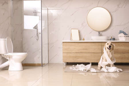 Cute Golden Labrador Retriever playing with toilet paper in bathroom Фото со стока