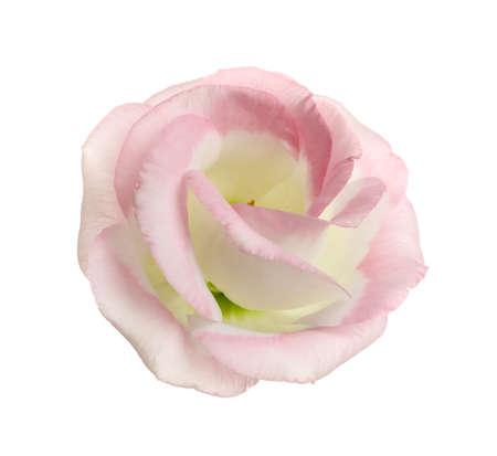 Beautiful fresh Eustoma flower on white background 스톡 콘텐츠