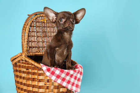 Cute small Chihuahua dog in picnic basket on light blue background. Space for text