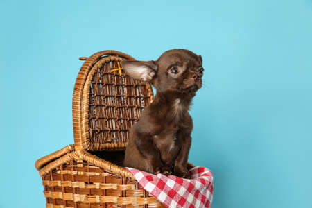 Cute small Chihuahua dog in picnic basket on light blue background