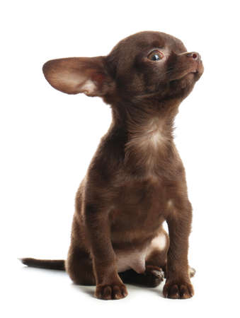 Cute small Chihuahua dog on white background Imagens