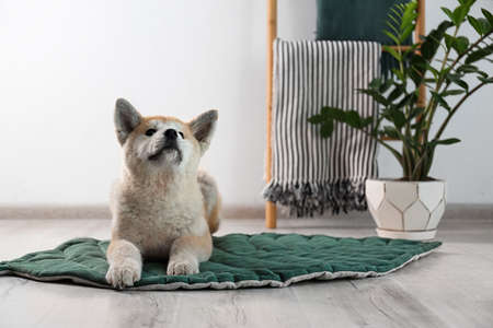 Cute Akita Inu dog on rug in room with houseplants. Space for text