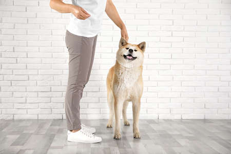Young woman with adorable Akita Inu dog indoors. Champion training