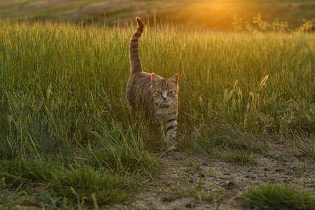 Cute tabby cat walking in green field at sunset 写真素材