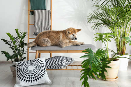 Cute Akita Inu dog on bench in room with houseplants