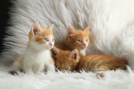 Cute little kittens on white furry blanket at home