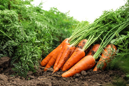 Pile of fresh ripe carrots on field. Organic farming