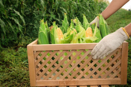 Woman holding wooden crate with fresh ripe corn on field, closeup Фото со стока