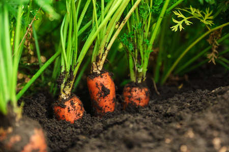Ripe carrots growing in soil, closeup. Organic farming