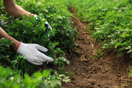 Woman gathering fresh green parsley in field, closeup. Organic farming