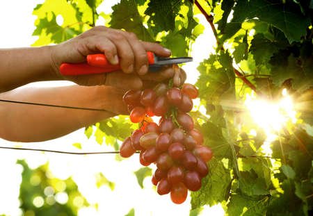 Man cutting bunch of fresh ripe juicy grapes with pruner outdoors, closeup