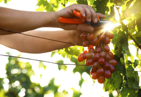Man cutting bunch of fresh ripe juicy grapes with pruner outdoors, closeup Archivio Fotografico - 130148591