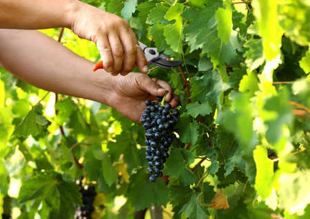 Man cutting bunch of fresh ripe juicy grapes with pruner outdoors, closeup Archivio Fotografico - 130148595