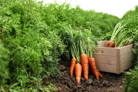Wooden crate of fresh ripe carrots on field. Organic farming 写真素材