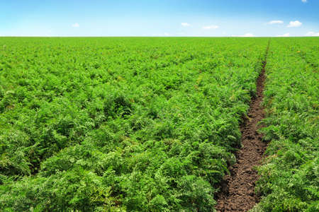 Beautiful view of carrot field on sunny day. Organic farming