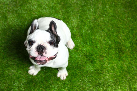 French bulldog on green grass, above view. Space for text Banco de Imagens