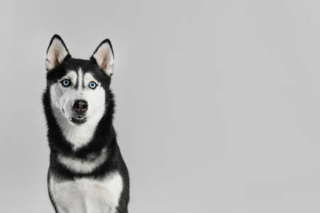 Cute Siberian Husky dog on light grey background. Space for text