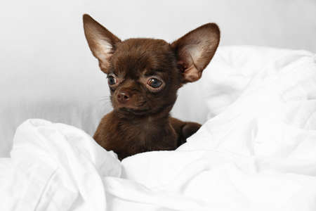 Cute small Chihuahua dog lying in bed