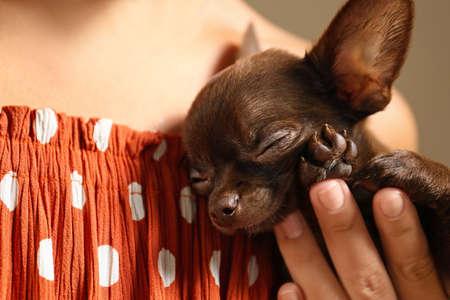 Woman holding sleeping small Chihuahua dog, closeup Stockfoto