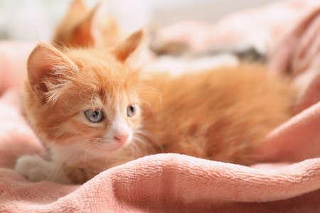 Cute little red kitten on pink blanket 写真素材