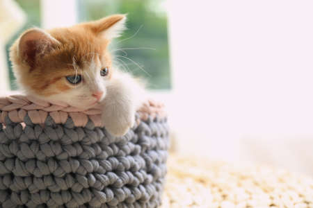 Cute little red kitten in knitted basket at home