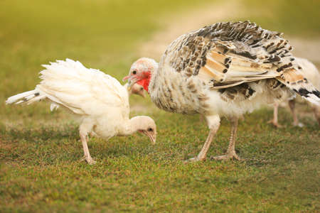Domestic turkeys on green grass. Poultry farming