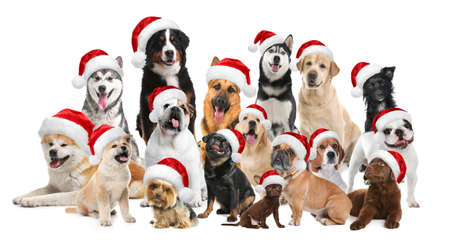 Group of adorable dogs in Santa hats on white background
