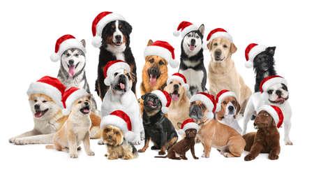 Gruppe entzückender Hunde in Weihnachtsmützen auf weißem Hintergrund